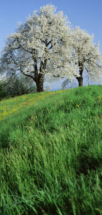 Cherry Trees Cantone Zug Switzerland by Panoramic Images