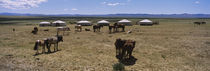 Group of horses and yurts in a field, Independent Mongolia von Panoramic Images
