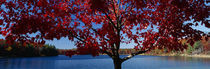 Close-up of a tree, Walden Pond, Concord, Massachusetts, USA by Panoramic Images