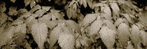 Close-up of leaves, Oswald West State Park, Oregon, USA by Panoramic Images