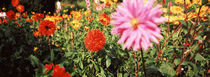 Dahlia flowers in a park, Stuttgart, Baden-Wurttemberg, Germany by Panoramic Images