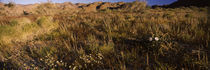 Grass in a field, Anza Borrego Desert State Park, California, USA von Panoramic Images
