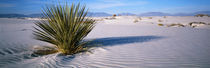 Plants in a desert, White Sands National Monument, New Mexico, USA by Panoramic Images
