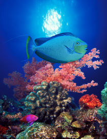 Vlamings unicornfish and Squarespot anthias with soft corals in the ocean von Panoramic Images