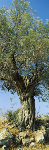 Olive tree in a field, Aegina, Saronic Gulf Islands, Attica, Greece by Panoramic Images