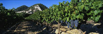 Cote Du Rhone Vineyard, Provence, France by Panoramic Images