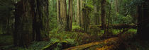 Trees in a forest, Hoh Rainforest, Olympic National Park, Washington State, USA by Panoramic Images