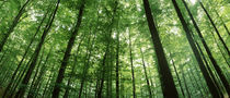 Low angle view of beech trees, Baden-Württemberg, Germany von Panoramic Images