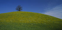 Single tree on the top of a hill with yellow wildflowers, Switzerland by Panoramic Images