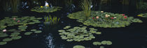 Water lilies in a pond, Denver Botanic Gardens, Denver, Colorado, USA von Panoramic Images