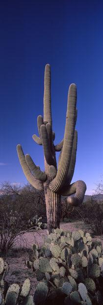 Saguaro National Park, Tucson, Arizona, USA by Panoramic Images