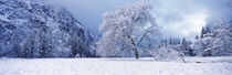 Snow covered oak tree in a valley, Yosemite National Park, California, USA von Panoramic Images