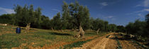 Dirt road passing through a field, Itria Valley, Puglia, Italy von Panoramic Images