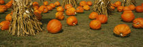 Corn plants with pumpkins in a field, South Dakota, USA von Panoramic Images