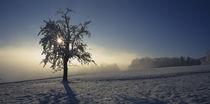 Panorama Print - Birnbaum in schneebedeckter Landschaft Schweiz  von Panoramic Images