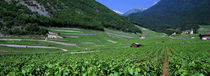 High Angle View Of A Vineyard, Valais, Switzerland von Panoramic Images