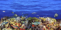School of fish swimming near a reef by Panoramic Images