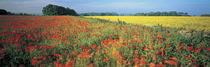 Flowers in a field, Bath, England by Panoramic Images