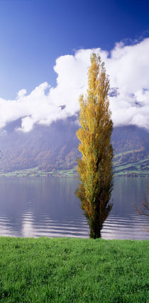 Poplar tree at the lakeside, Lake Zug, Switzerland by Panoramic Images