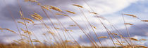 Wheat Stalks Blowing, Crops, Field, Open Space by Panoramic Images