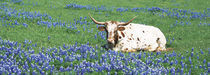 Texas Longhorn Cow Sitting On A Field, Hill County, Texas, USA von Panoramic Images