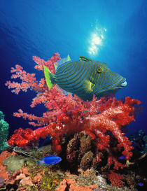 Orange-Lined triggerfish (Balistapus undulatus) and soft corals in the ocean by Panoramic Images