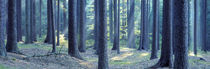 Trees in a forest, South Bohemia, Czech Republic by Panoramic Images