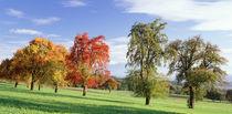 Switzerland, pear orchard , autumn von Panoramic Images