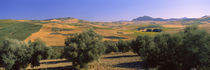 Trees on a hill, Ronda, Malaga Province, Andalusia, Spain von Panoramic Images