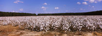 Cotton crops in a field, Georgia, USA by Panoramic Images