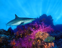 Caribbean Reef shark (Carcharhinus perezi) and Soft corals in the ocean von Panoramic Images