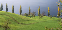 Switzerland, Lake Zug, View of a row of Poplar Trees by Panoramic Images