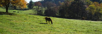 Horses grazing in a field, Kent County, Michigan, USA by Panoramic Images