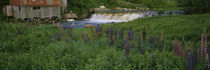 Lupine flowers in a field, Petite River, Nova Scotia, Canada by Panoramic Images