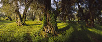 Olive trees on a landscape, Corfu, Ionian Islands, Greece von Panoramic Images