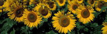 Sunflowers ND USA by Panoramic Images