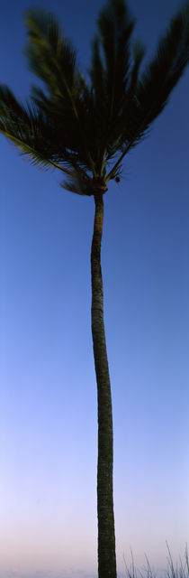 Low angle view of a palm tree, Kenya von Panoramic Images