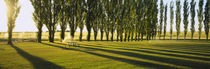 Poplar Trees Near A Wheat Field, Twin Falls, Idaho, USA von Panoramic Images