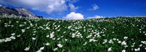 White flowers in a field, French Riviera, Provence-Alpes-Cote d'Azur, France by Panoramic Images