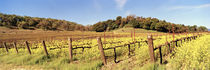 Mustard flowers in a field, Napa Valley, California, USA by Panoramic Images