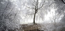 Birch trees covered with snow, Switzerland by Panoramic Images