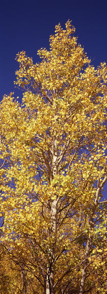 Low angle view of aspen trees in autumn, Colorado, USA by Panoramic Images