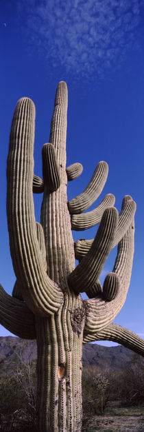 Saguaro National Park, Tucson, Arizona, USA by Panoramic Images