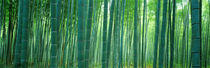 Bamboo Forest, Sagano, Kyoto, Japan by Panoramic Images