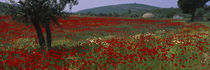 Red poppies in a field, Turkey by Panoramic Images