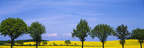Trees in a rape field, Holstein, Germany by Panoramic Images