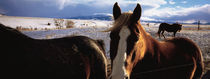Horses in a field, Montana, USA von Panoramic Images