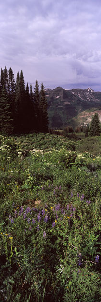Forest, Washington Gulch Trail, Crested Butte, Gunnison County, Colorado, USA by Panoramic Images