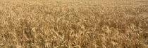 Wheat crop in a field, Otter Tail County, Minnesota, USA von Panoramic Images