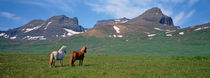 Horses Standing And Grazing In A Meadow, Borgarfjordur, Iceland von Panoramic Images